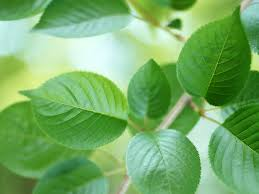 Fun Dieting: Why to Consume Chlorophyll?