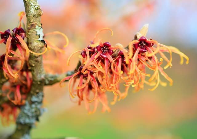 A natural alternative to many beauty products, Witch Hazel