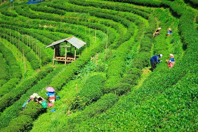 tea plantations thailand