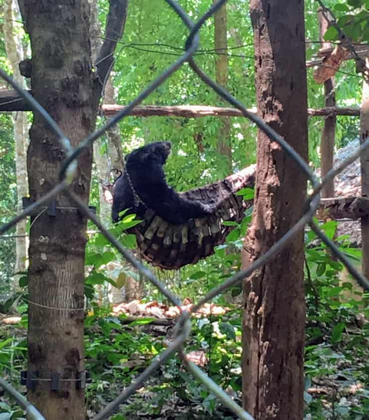 moon bear chilling in a hammock in Luang Prabang Laos Asia