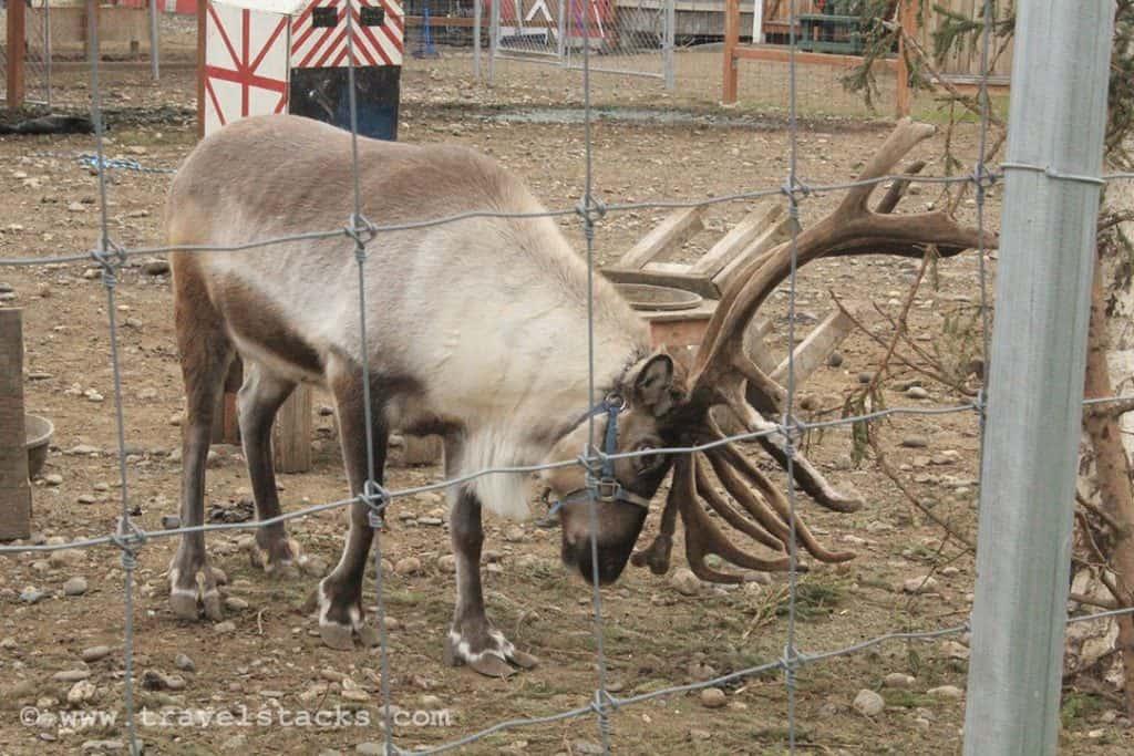 Caribou_at_Santa_Clause_House__North_Pole