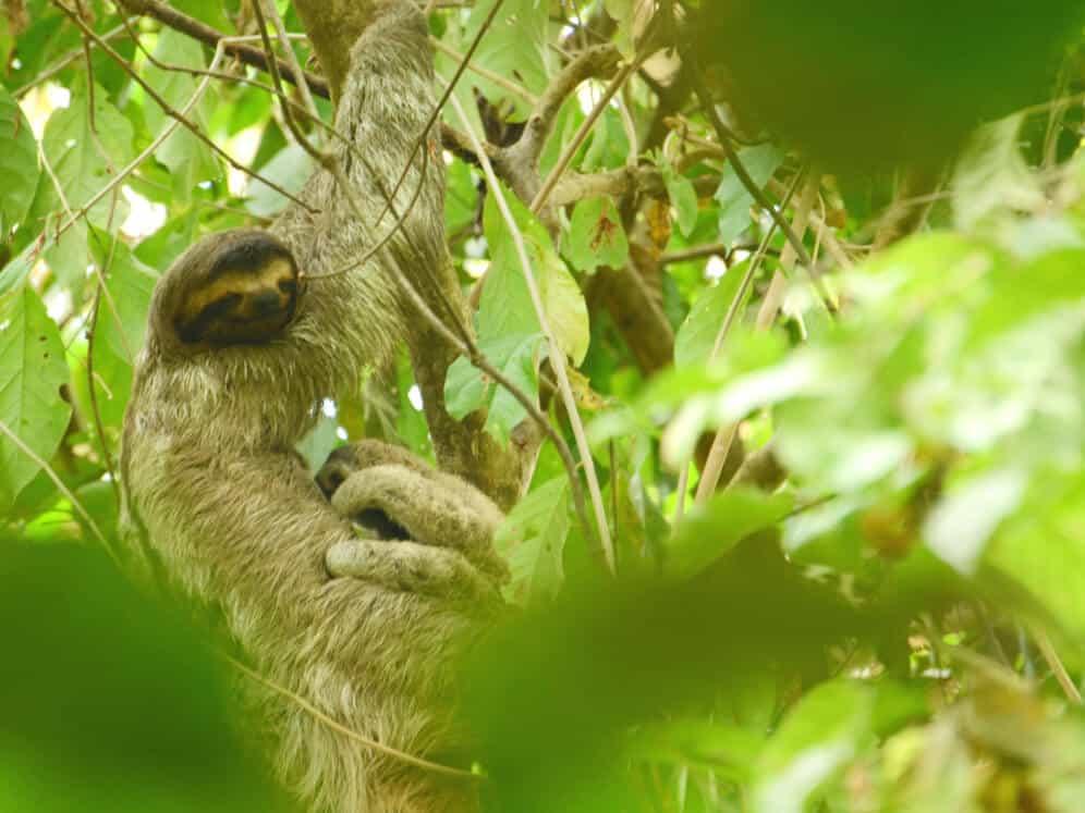 Sloth-Manuel Antonio National Park-CostaRica